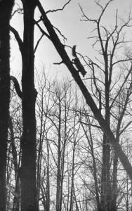 Fox in the tree Vasily Peskov