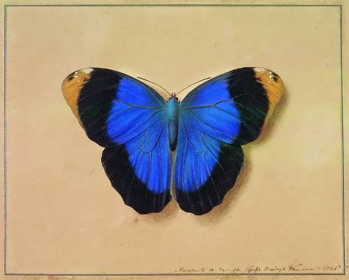 The butterfly Fedor Tolstoy